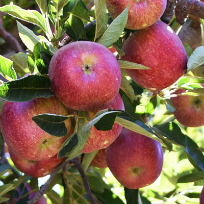 Southern Fruit Growers - Apples