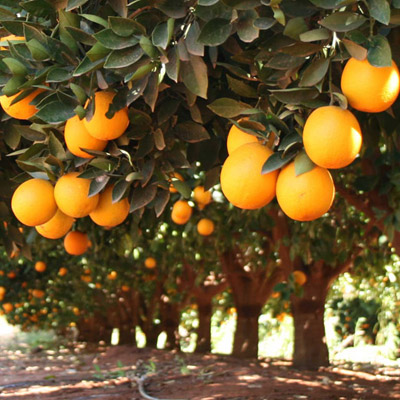 Southern Fruit Growers - Citrus