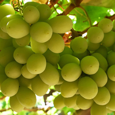 Southern Fruit Growers - Grapes