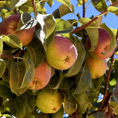 Southern Fruit Growers - Pears